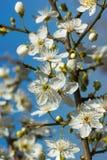 Weiße Kirschblüte in voller Blüte Lizenzfreies Stockfoto