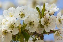 Weiße Kirschblüte in voller Blüte Stockbild