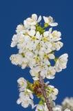 Weiße Kirschblüten Stockbild