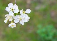 Weiße Kirschblüten Lizenzfreie Stockfotografie