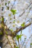 Weiße Kirschblüten Stockfoto