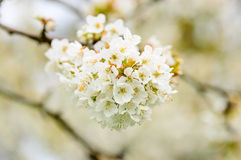 Weiße Kirschblüten Stockbilder
