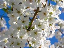 Weiße Kirschblüten Lizenzfreies Stockbild