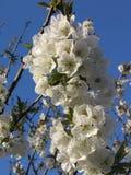 Weiße Kirschblüten Stockfotografie