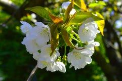 Weiße Kirschblüten Lizenzfreie Stockfotos