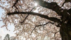 Weiße Kirschblüten in Frankfurt, Hessen, Deutschland, Europa lizenzfreies stockfoto