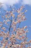 Weiße Kirschblüten gegen einen hellen blauen Himmel Lizenzfreies Stockfoto