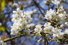 Weiße Kirschblüten im Frühjahr mit blauem Himmel im Hintergrund Stockbild