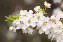 Weiße Kirschblüten und Jungeblätter auf dunklem Hintergrund Stockbild