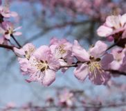 Weiße Kirschblütenblume lizenzfreies stockfoto