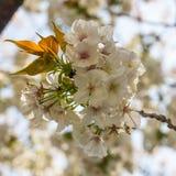 Weiße Kirschblütengruppe und neue Blätter der Keimung Stockfotos