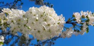 Weiße Kirschblütennahaufnahme auf einem Baumast Lizenzfreie Stockfotografie
