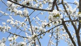Weiße Kirschblumen über blauem klarem Himmel stock footage