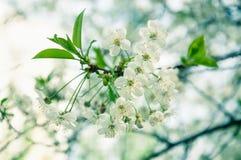 Weiße Kirschblumen Stockfoto