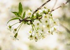 Weiße Kirschblumen Lizenzfreie Stockfotografie