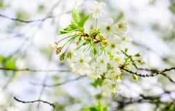 Weiße Kirschblumen Stockbilder