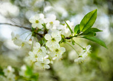 Weiße Kirschblumen Stockbild