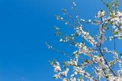 Weiße Kirsche blüht auf einem Hintergrund des blauen Himmels Lizenzfreie Stockfotografie