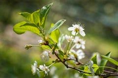 Weiße Kirsche blüht grüne Blätter Stockbild