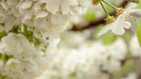 Weiße Kirschniederlassungsblüte, die auf der Frühlingsbrise HD schwingt stock footage