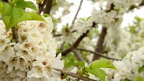 Weiße Kirschniederlassungsblüte, die auf der Frühlingsbrise HD schwingt stock video