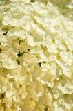 Weiße kleine Blütennahaufnahme Lizenzfreie Stockbilder