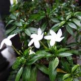 Weiße kleine Blumen lizenzfreies stockbild