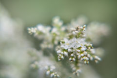 Weiße kleine Blumen Stockbilder
