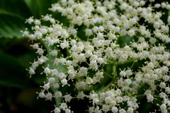 Weiße kleine Blumen im Garten auf einem dunklen Hintergrund stockfotos