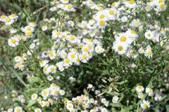 Weiße kleine Gänseblümchenblumen Stockbilder