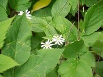 Weiße kleine Waldblume Lizenzfreie Stockfotografie
