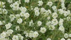 Weiße kleine wilde Blumen auf den Stämmen stock video footage