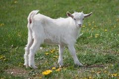 Weiße kleine Ziege Lizenzfreie Stockfotos