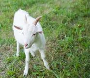 Weiße kleine Ziege Lizenzfreies Stockfoto