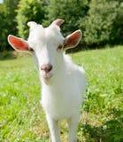 Weiße kleine Ziege Lizenzfreies Stockbild