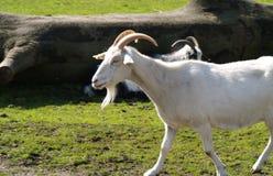 Weiße kleine Ziege Stockfotografie