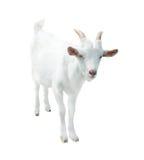 Weiße kleine Ziege, lokalisiert Stockfoto