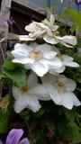Weiße Klematisblumen Stockfotografie