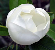 Weiße Knospe Stockbild