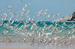 Weiße konfrontierte Seeschwalbe: Menge auf dem Strand Lizenzfreies Stockfoto