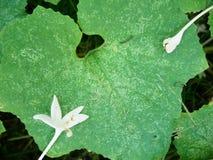 Weiße Korkenbaumblume mit Kantalupenblatt lizenzfreies stockbild