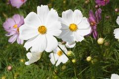 Weiße Kosmos-Blume Lizenzfreies Stockfoto