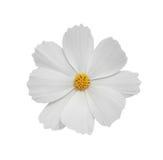 Weiße Kosmosblume lizenzfreie stockfotografie