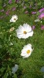 Weiße Kosmosblumen stockfotos