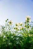 Weiße Kosmosblumen im garden3 Lizenzfreie Stockfotos
