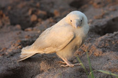 Weiße Krähe Stockfoto