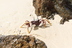Weiße Krabbe auf dem Strand Stockbild