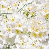 Weiße Krokusblumen Stockbilder