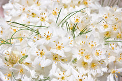 Weiße Krokusblumen Stockfotografie