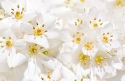 Weiße Krokusblumen Lizenzfreies Stockfoto